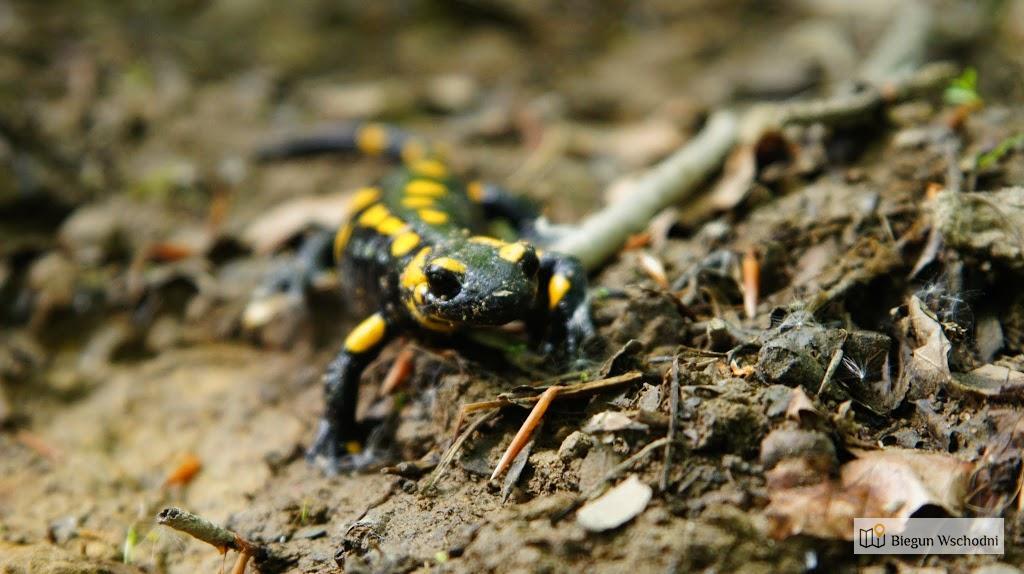 Salamandra plamista spotkana w Ożennej